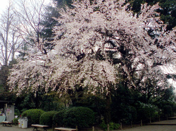 Furukawa_cherry_1003_a00