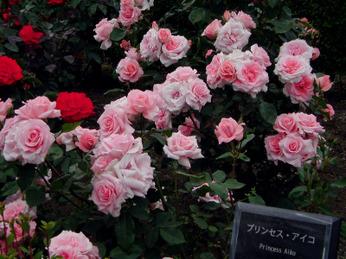 Spring_rose_1005_a02